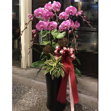E001祝賀蘭花-5株