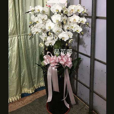 L001喪禮弔唁蝴蝶蘭盆栽-12株