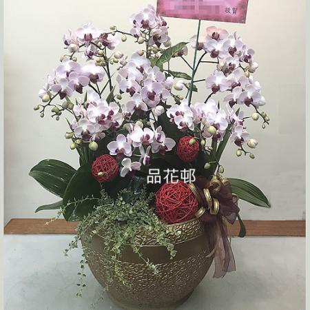 F001祝賀蘭花-5株雙梗