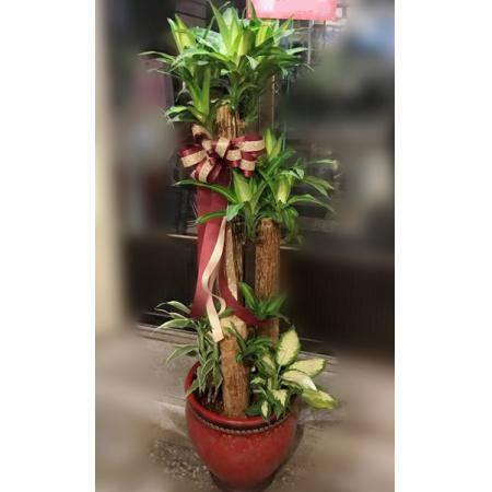 G001巴西鐵樹盆栽