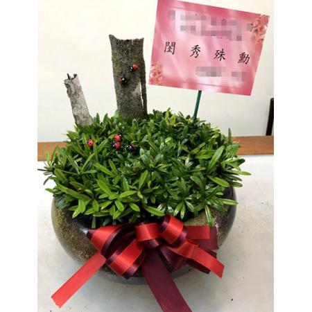 H001羅漢松組合盆栽