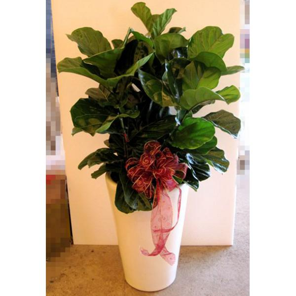 G005琴葉榕盆栽