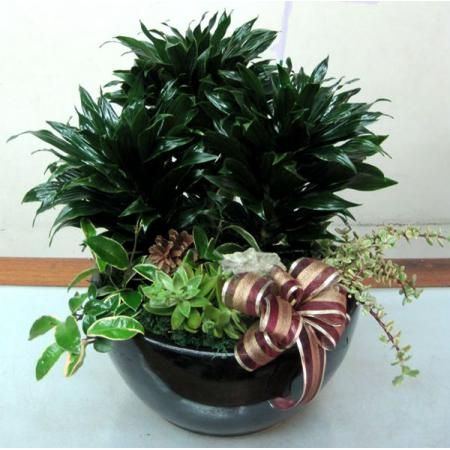 H003阿波羅組合盆栽
