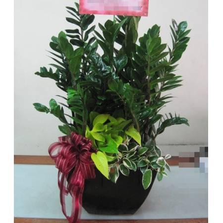 H006金錢樹組合盆栽