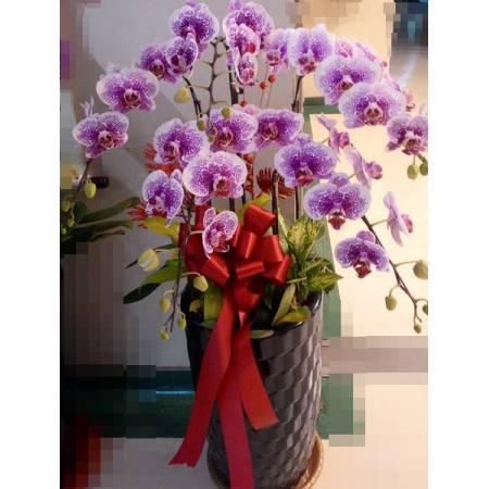 E005祝賀蘭花-5株