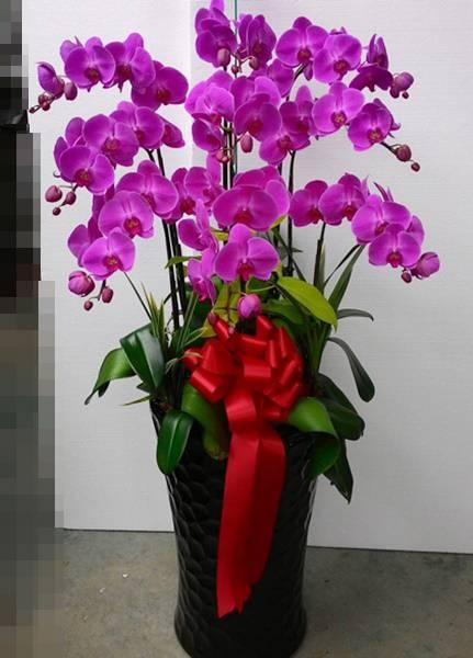 E006祝賀蘭花-9株