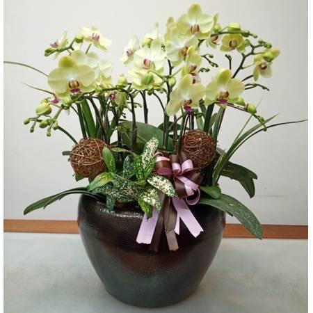F003祝賀蘭花-5株雙梗