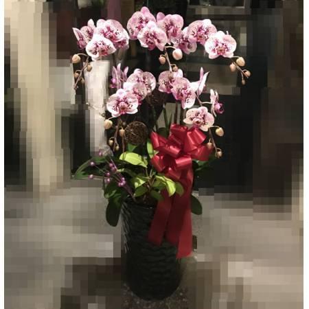 E007祝賀蘭花-5株