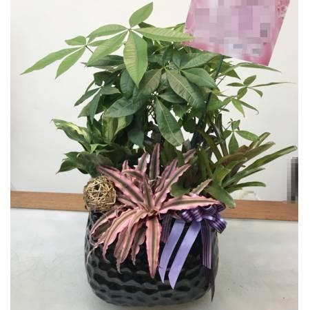 H008馬拉巴栗組合盆栽