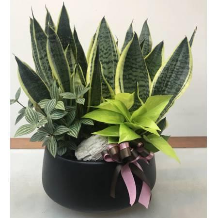 H0010虎尾蘭組合盆栽(可淨化室內空氣)