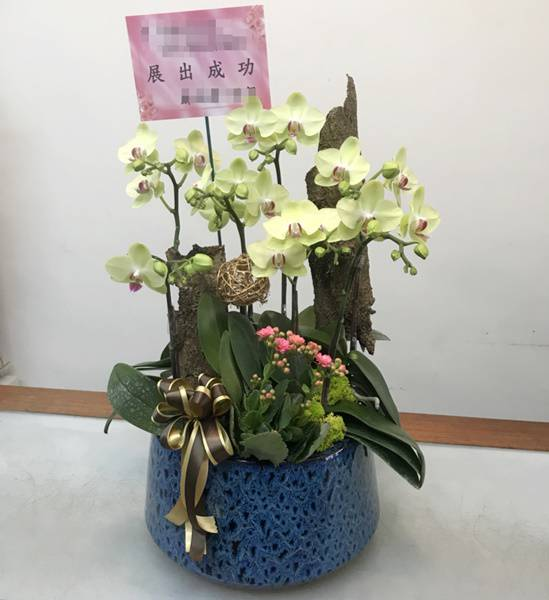 F004祝賀蘭花-5株