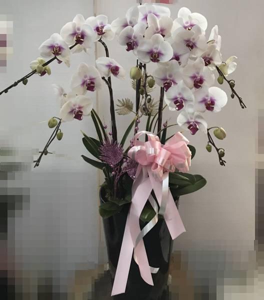 L009喪禮弔唁蝴蝶蘭盆栽-5株