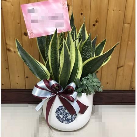 H0014虎尾蘭組合盆栽(可淨化室內空氣)