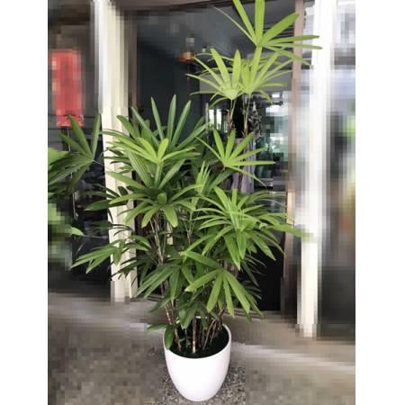 G0011觀音棕竹盆栽