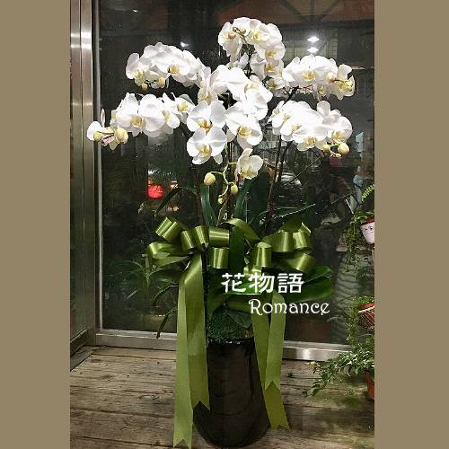 C004精緻蝴蝶蘭盆栽追思花禮告別式花禮
